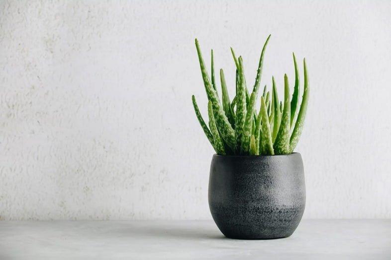 Растение алоэ в черном горшке на белом фоне