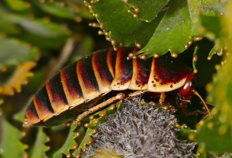 Таракан Кейп-Маунтин (Aptera fusca)