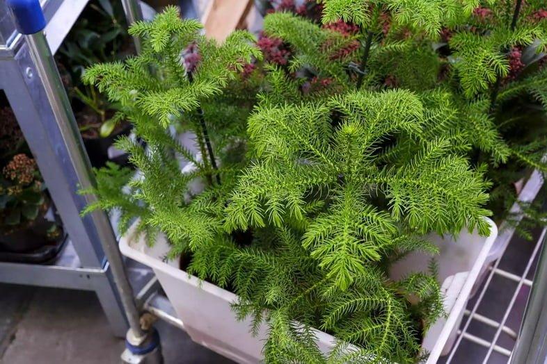 Араукария разнолистная в вазоне для продажи в магазине. Выбираем комнатные растения