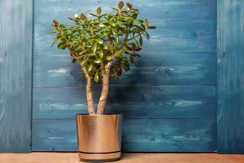 Толстянка яйцевидная – комнатное растение в горшке на деревянном синем фоне