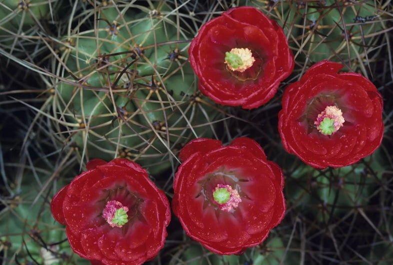 Эхиноцереус Энгельмана, пустыня Мохаве. Национальный парк Джошуа-Три, штат Калифорния