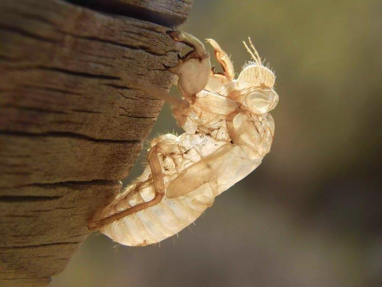 Экзоскелет цикады на бревне