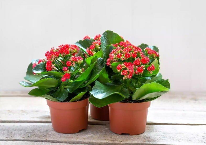 Красные цветы каланхоэ Блоссфельда на деревянном столе.
