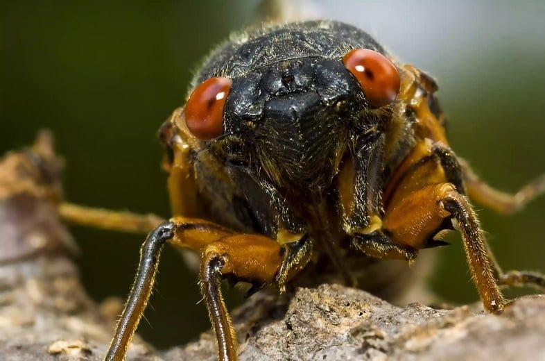 Крупный план цикады Великого Восточного выводка – ее головы и красных глаз