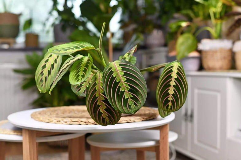 Тропическое комнатное растение 'Maranta Leuconeura Fascinator' с листьями с экзотическими красными полосами на столе