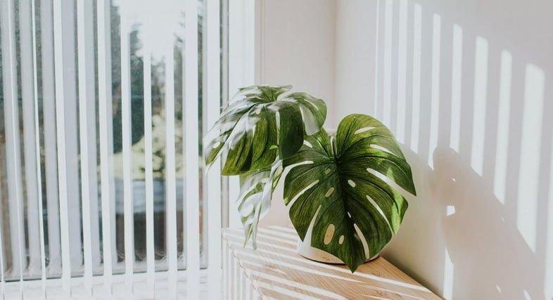 Растение монстера деликатесная