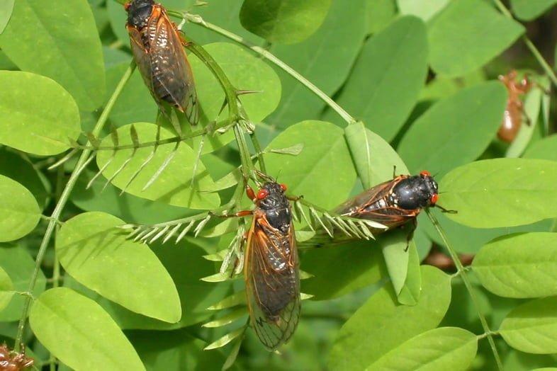 Несколько цикад сидят на листьях куста