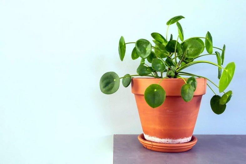 Пилея пеперомиевидная, Китайское денежное растение, растение Уфо или блинное растение в ретро-современном дизайне для украшения дома