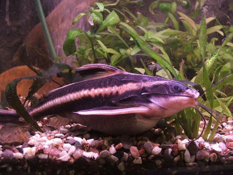 Платидорас полосатый (Platydoras armatulus)