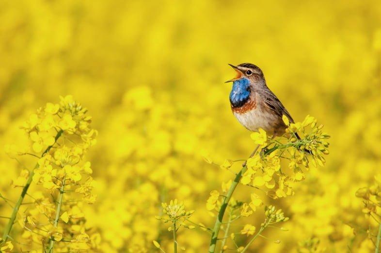 Птица Варакушка сидит с открытым ртом на вершине желтого рапса в окружении желтых цветов.