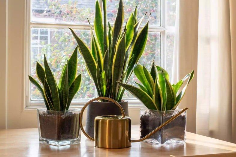 Три горшка, в которых растут сансевиерии трёхполосные разного размера перед окном