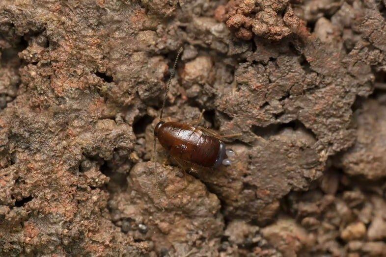 Флоридский лесной таракан, Eurycotis floridana, Сатара, Махараштра, Индия
