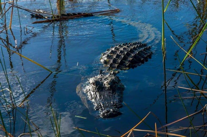 Аллигатор плавает в травянистом озере