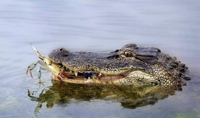 Аллигатор ест краба