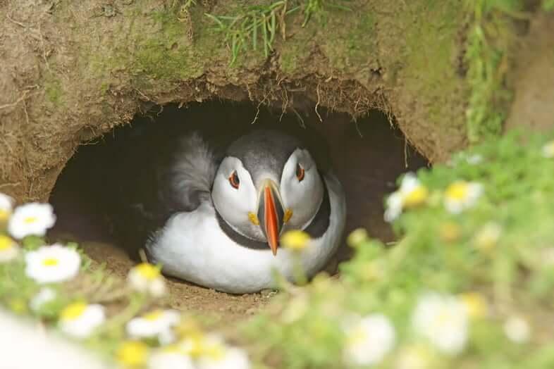 Атлантический тупик в норе для гнездования, остров Скомер, Уэльс, Великобритания