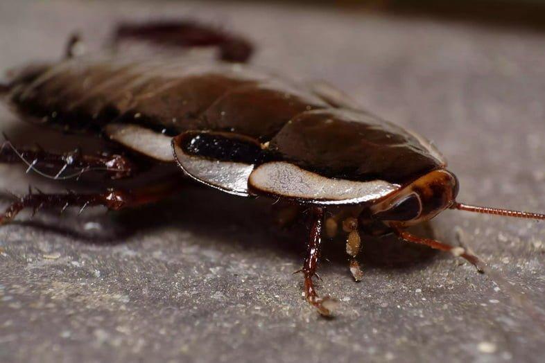 Австралийский таракан (Periplaneta australasiae)