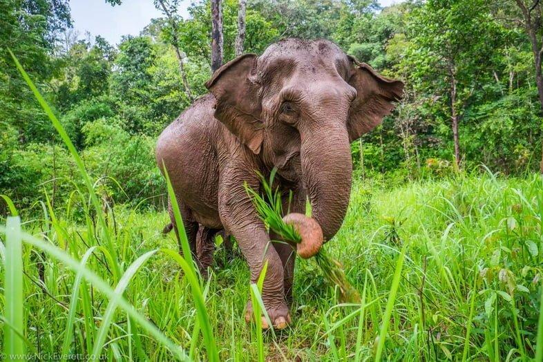 Азиатский слон в Камбодже