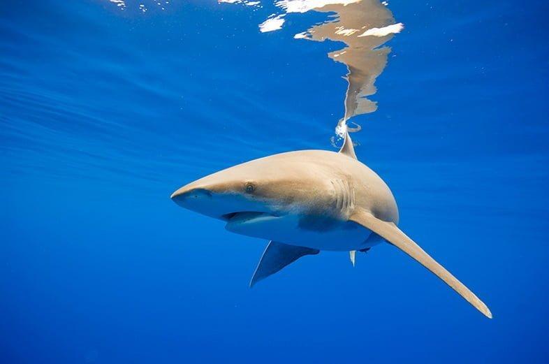 Океаническая белопёрая акула, Гавайи