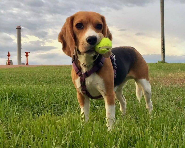 Фото бигля с теннисным мячом во рту на травянистом поле на фоне неба