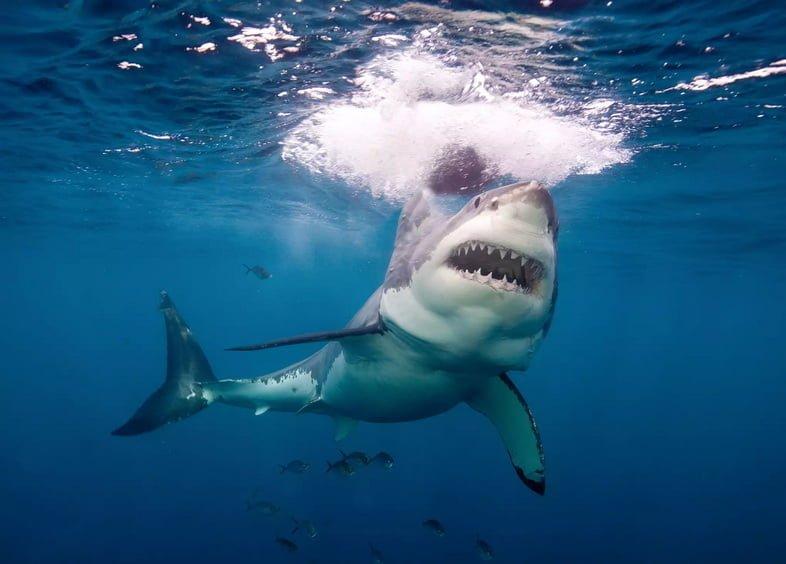 Большая белая акула на острове Нептун, Австралия