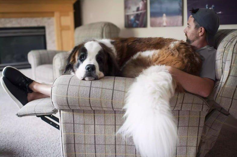 Большой сенбернар сидит на коленях у мужчины в кресле дома