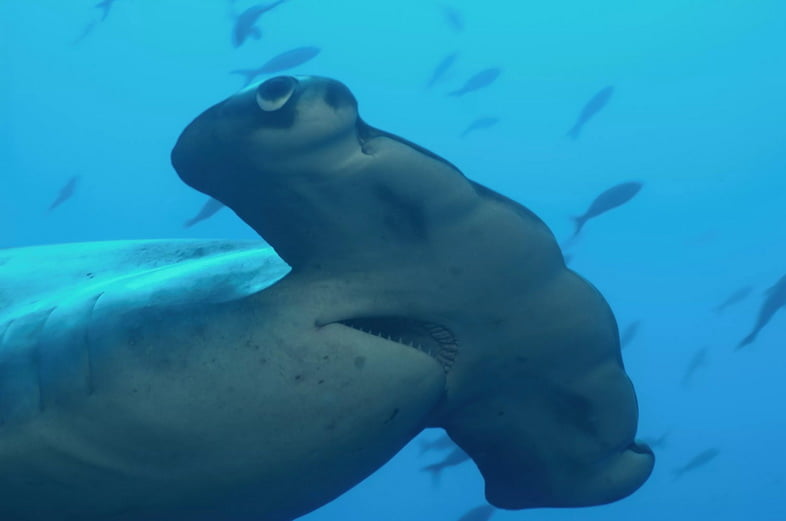 Бронзовая акула-молот