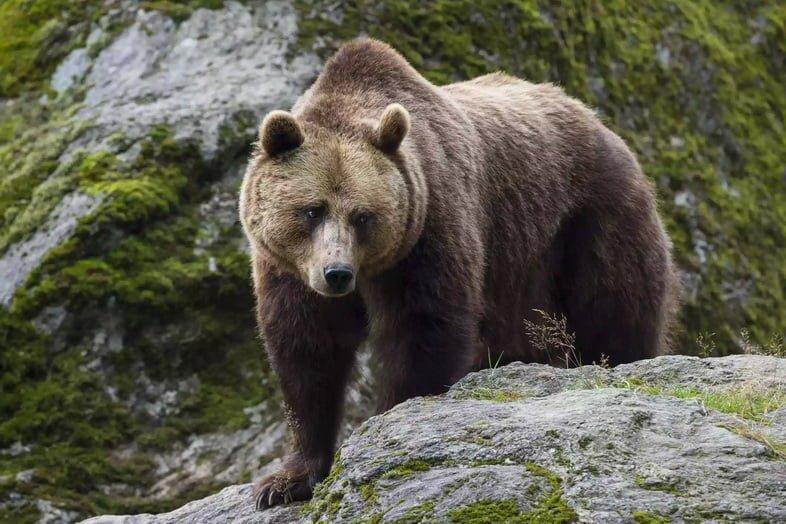 Европейский бурый медведь в Баварии, Германия
