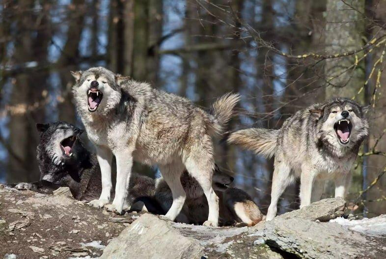 Вызов волков