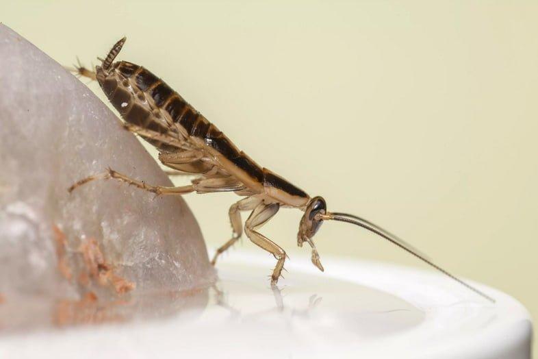 Крупный план рыжего таракана (Blattella germanica)