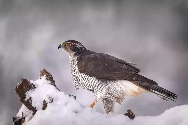 Крупный план хищного ястреба-тетеревятника, сидящего на снегу, Польша
