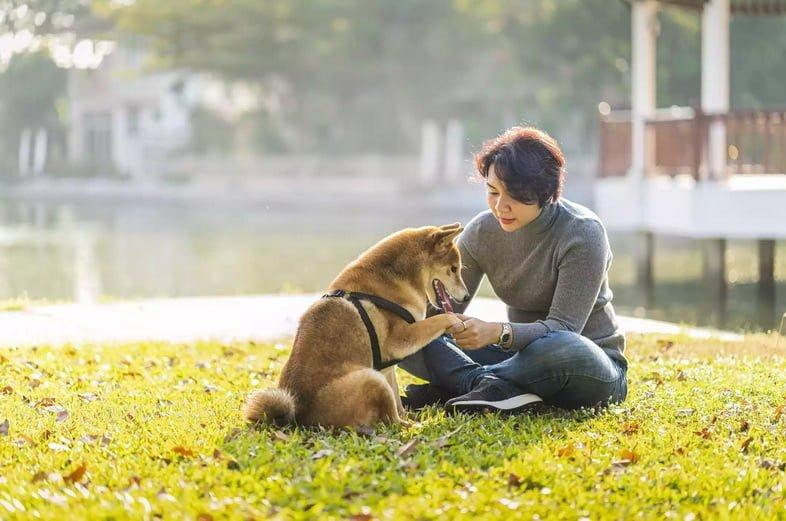 Любитель домашних животных. Девушка играет с сиба-ину. Обучение и тренировка собак давать лапу.