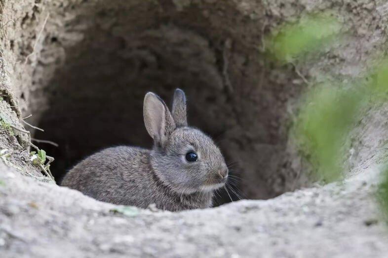 Молодой дикий кролик (Oryctolagus cuniculus) любопытствует, Бау, Нижняя Австрия, Австрия.