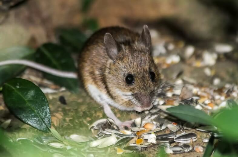 Домовая мышь (Mus musculus), кормящаяся в лесу, Суаньский лес, Брюссель, Бельгия