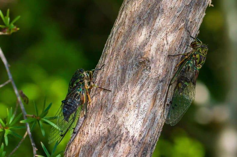 Две цикады на стволе дерева в Новой Зеландии
