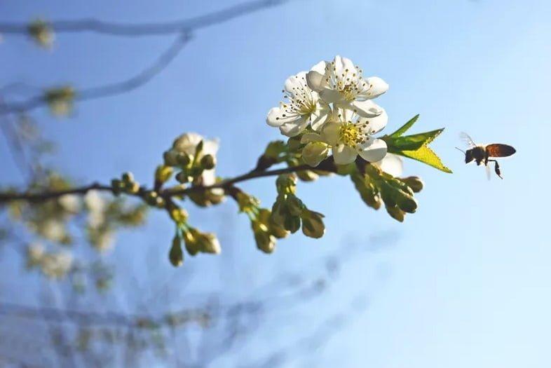 Ветка цветущей вишни с приближающейся пчелой