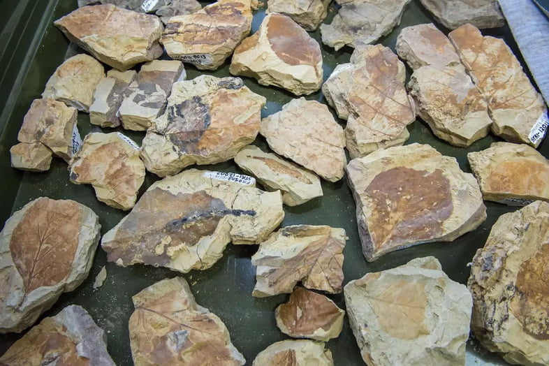 Ископаемые листья из лаборатории Карлоса Харамильо в Центре тропической палеобиологии и археологии.