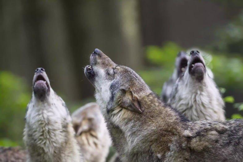 Германия, Бавария, Воющие серые волки
