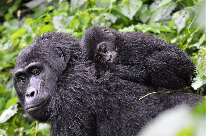 Детеныш горной гориллы в Непроходимом лесу Бвинди, Уганда, цепляется за свою мать среди густой растительности.