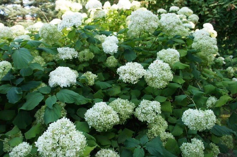 Гортензия древовидная Аннабель – гладкая кустовая гортензия с белыми цветами