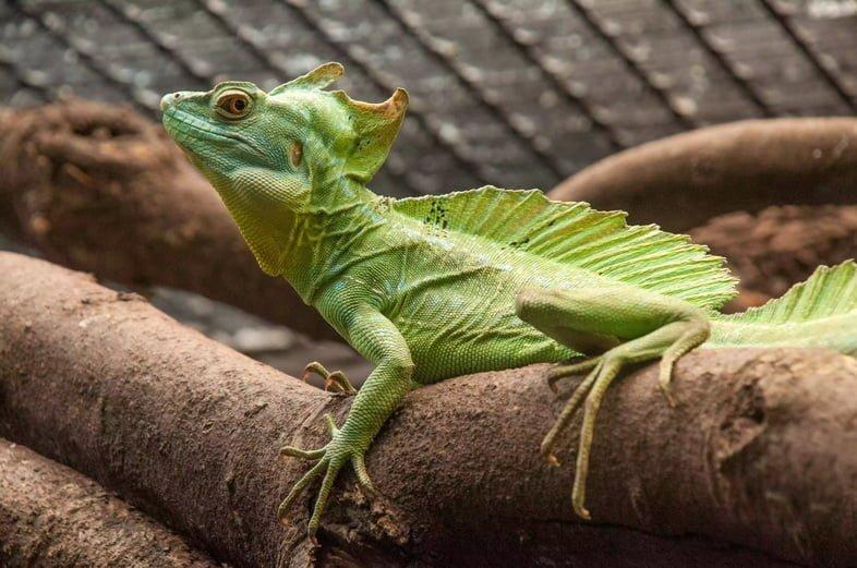 Ящерица – зеленый василиск
