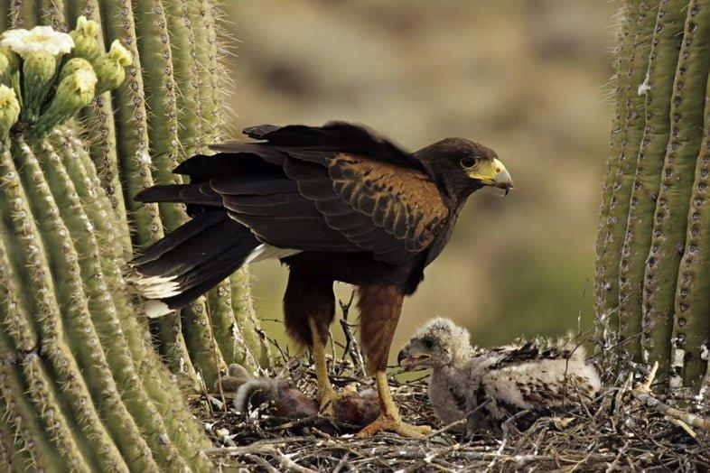 Пустынный канюк (Parabuteo unicinctus) и птенцы на гнезде в кактусе Сагуаро, пустыня Сонора, Аризона, США
