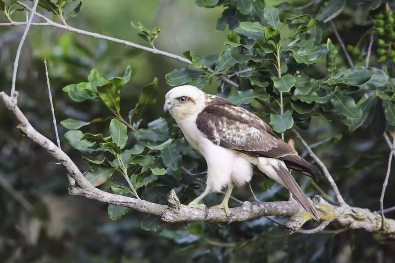 Канюк-отшельник (Buteo Solitarius) сидит на ветке дерева