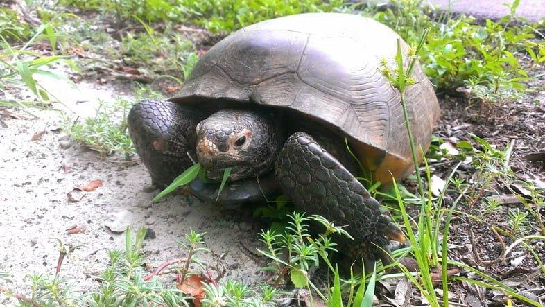Черепаха Гофер-полифем на поле ест траву