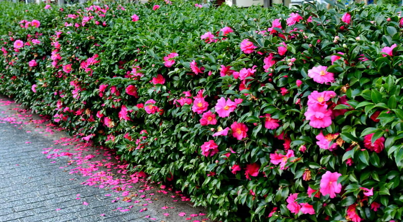 Камелия сасанква – цветы