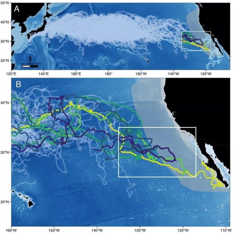 Зигзагообразные линии показывают пути миграции 231 логгерхеда, шесть из которых входят в крупную морскую экосистему Калифорнийского течения