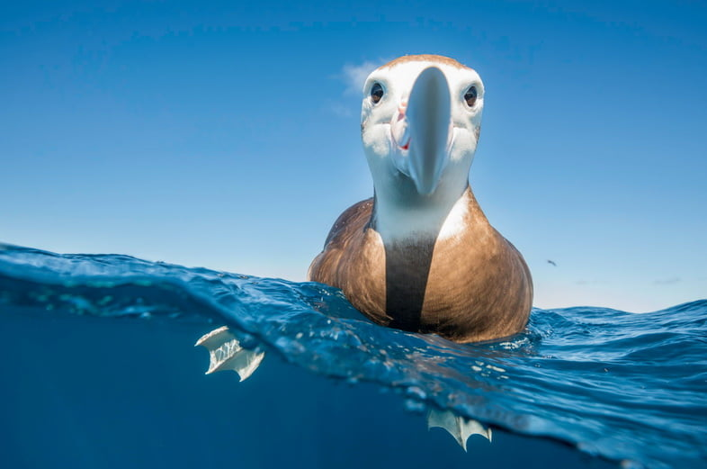 Вид над водой и под водой на коричневоголового альбатроса, отдыхающего на поверхности воды и проявляющего большой интерес к фотографу, Северный остров, Новая Зеландия.