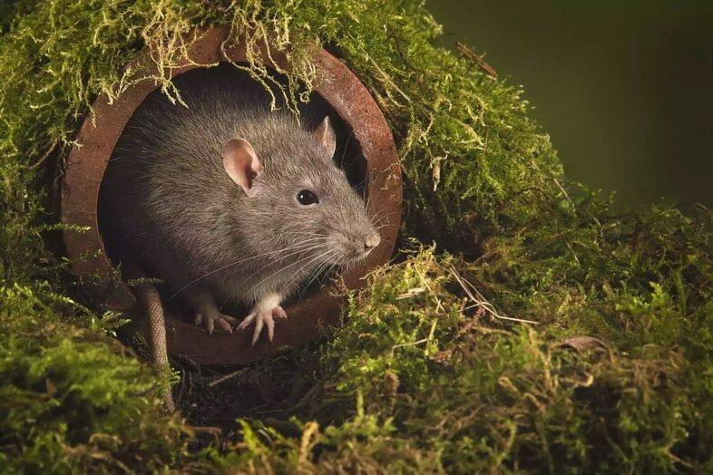 Крупным планом портрет крысы, выходящей из водосточной трубы. Его голова и лапы обнажены, она осторожно смотрит наружу.