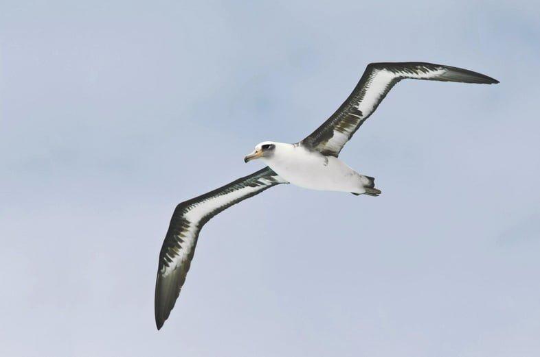 Темноспинный альбатрос в полете