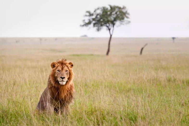Лев в Масаи Мара, Кения
