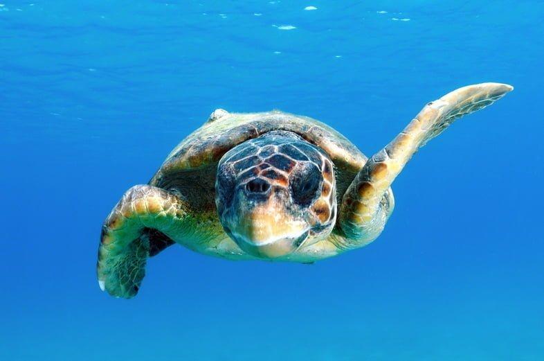 Морская черепаха логгерхед плывет вперед к кадру через ярко-голубую воду